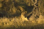 Prey, Predators, and Peace, photos by Alvin Rosenfeld, MD